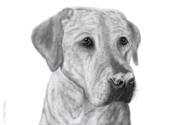 Illustration Dessin Animal Labrador 001